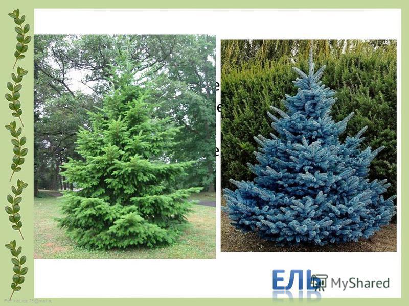 FokinaLida.75@mail.ru Захожу я в зимний лес Встретил Чудо из чудес. Зелёное, могучее, Но чересчур колючее