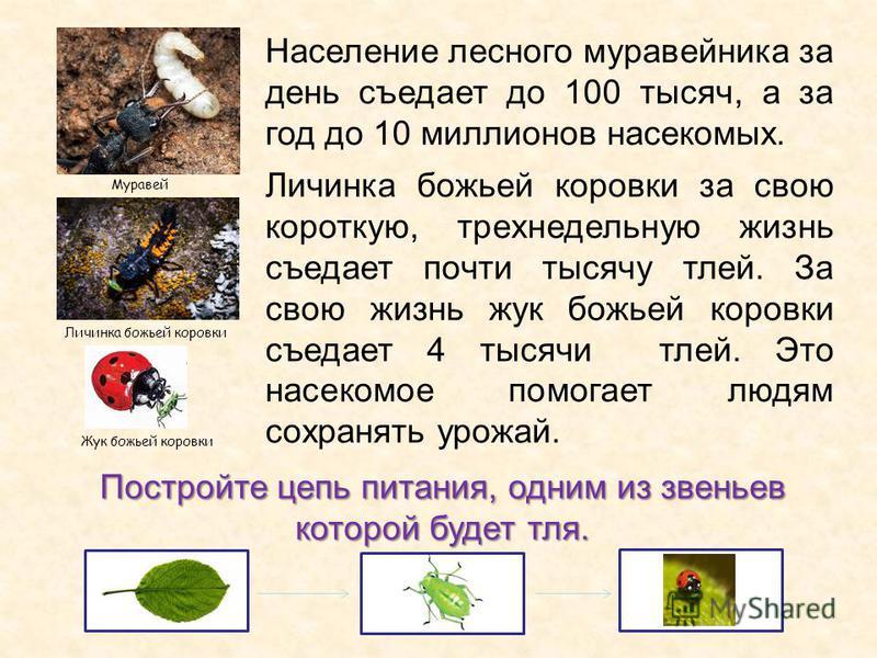 Население лесного муравейника за день съедает до 100 тысяч, а за год до 10 миллионов насекомых. Личинка божьей коровки за свою короткую, трехнедельную жизнь съедает почти тысячу тлей. За свою жизнь жук божьей коровки съедает 4 тысячи тлей. Это насеко