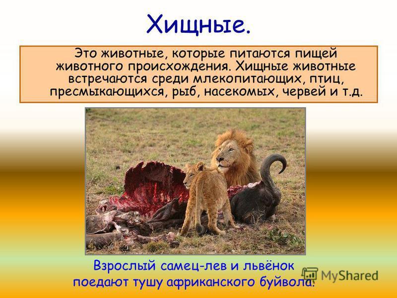 Хищные. Это животные, которые питаются пищей животного происхождения. Хищные животные встречаются среди млекопитающих, птиц, пресмыкающихся, рыб, насекомых, червей и т.д. Взрослый самец-лев и львёнок поедают тушу африканского буйвола.