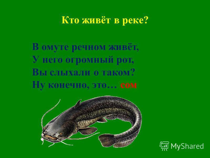 Кто живёт в реке? В омуте речном живёт, У него огромный рот, Вы слыхали о таком? Ну конечно, это… сом