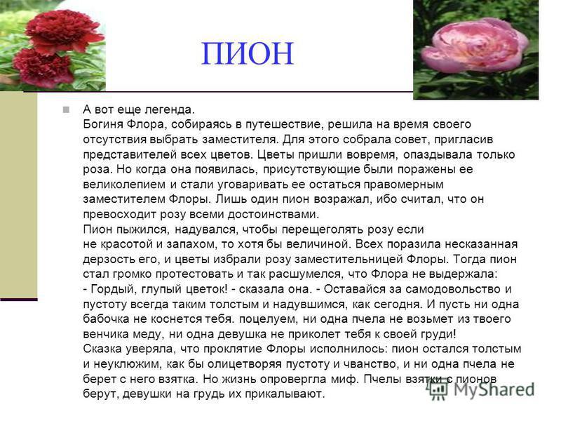 ПИОН А вот еще легенда. Богиня Флора, собираясь в путешествие, решила на время своего отсутствия выбрать заместителя. Для этого собрала совет, пригласив представителей всех цветов. Цветы пришли вовремя, опаздывала только роза. Но когда она появилась,