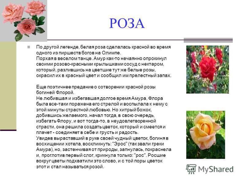 РОЗА По другой легенде, белая роза сделалась красной во время одного из пиршеств богов на Олимпе. Порхая в веселом танце. Амур как-то нечаянно опрокинул своими розово-красными крылышками сосуд с нектаром, который, разлившись на цветшие тут же белые р
