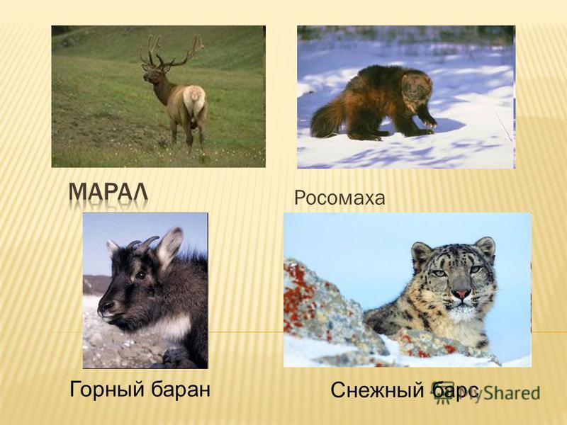 Росомаха Горный баран Снежный барс