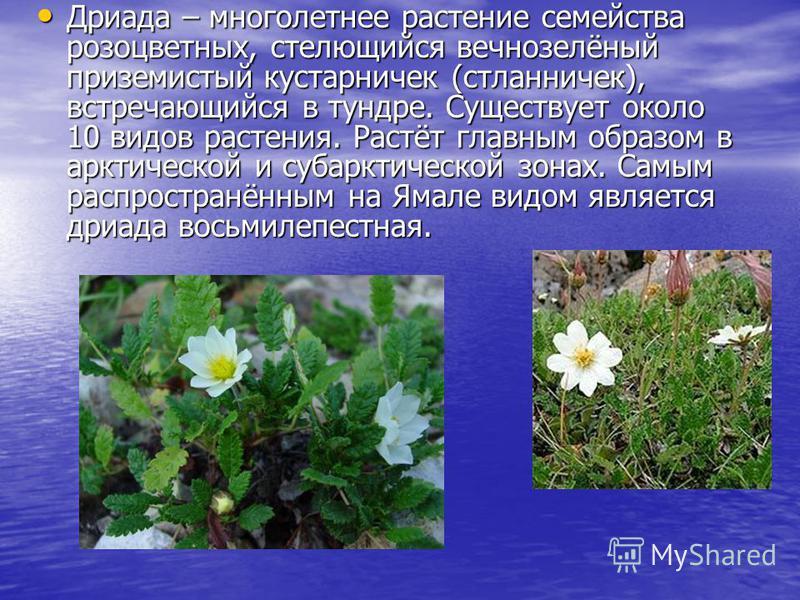 Дриада – многолетнее растение семейства розоцветных, стелющийся вечнозелёный приземистый кустарничек (стланничек), встречающийся в тундре. Существует около 10 видов растения. Растёт главным образом в арктической и субарктической зонах. Самым распрост