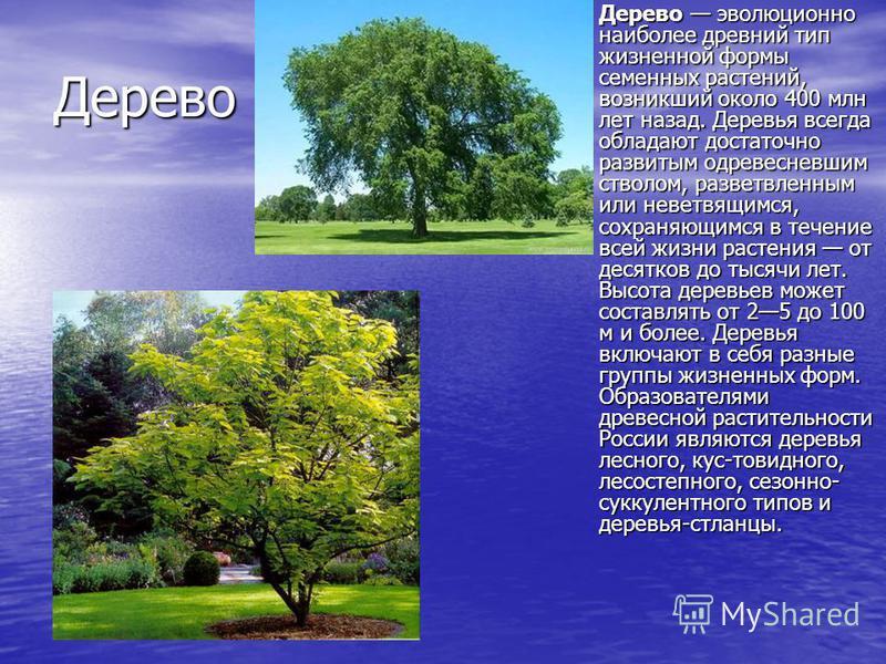 Дерево Дерево эволюционно наиболее древний тип жизненной формы семенных растений, возникший около 400 млн лет назад. Деревья всегда обладают достаточно развитым одревесневшим стволом, разветвленным или неветвящимся, сохраняющимся в течение всей жизни