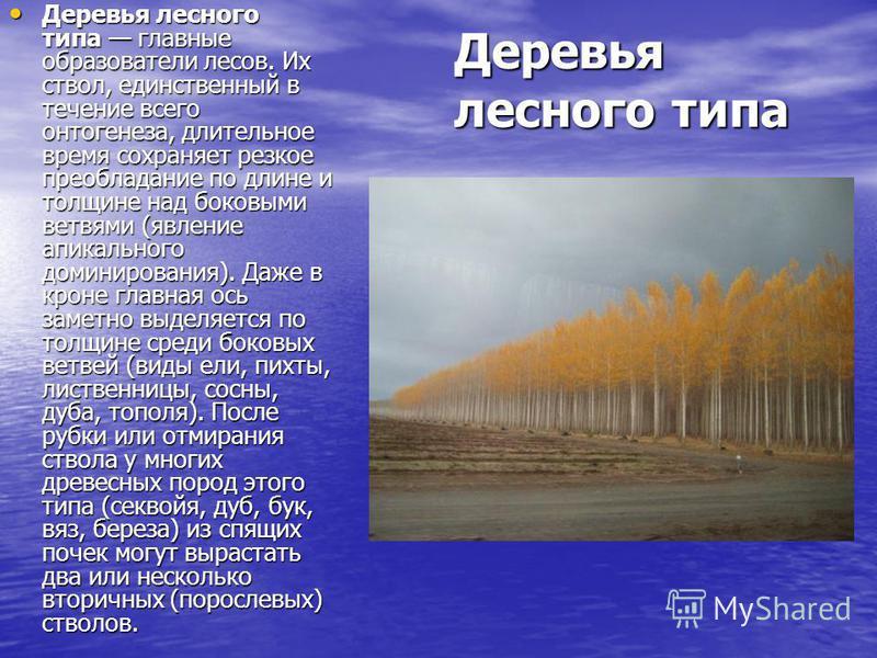 Деревья лесного типа Деревья лесного типа главные образователи лесов. Их ствол, единственный в течение всего онтогенеза, длительное время сохраняет резкое преобладание по длине и толщине над боковыми ветвями (явление апикального доминирования). Даже