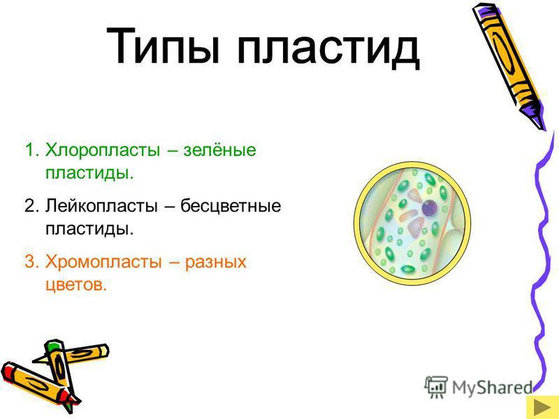 1. Хлоропласты – зелёные пластиды. 2. Лейкопласты – бесцветные пластиды. 3. Хромопласты – разных цветов.