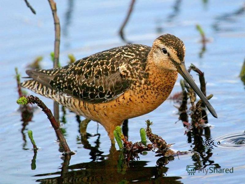 Какая птица свое болото хвалит?