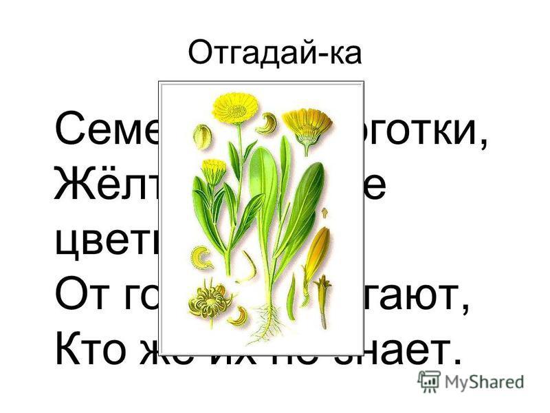 Раунд «Зеленая аптека» Если кто-то простудился, Голова болит, живот. Значит, надо подлечиться, Значит, в путь – на огород. С грядки мы возьмем микстуру, За таблеткой сходим в сад, Быстро вылечим простуду. Снова будешь жизни рад.