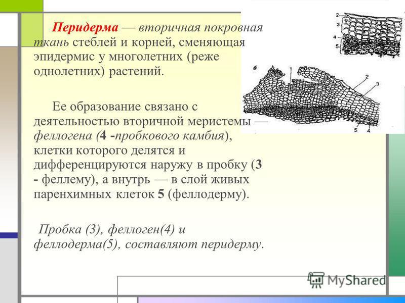 Перидерма вторичная покровная ткань стеблей и корней, сменяющая эпидермис у многолетних (реже однолетних) растений. Ее образование связано с деятельностью вторичной меристемы феллогена (4 -пробкового камбия), клетки которого делятся и дифференцируютс