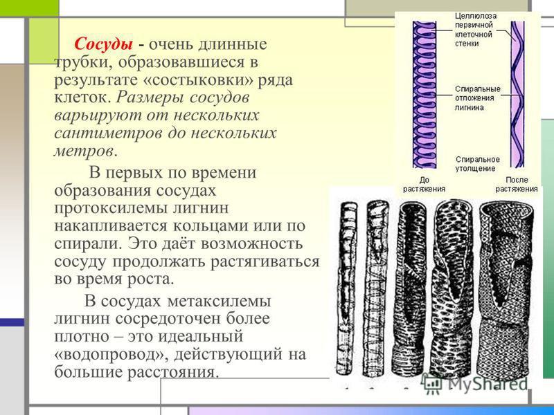 Сосуды - очень длинные трубки, образовавшиеся в результате «состыковки» ряда клеток. Размеры сосудов варьируют от нескольких сантиметров до нескольких метров. В первых по времени образования сосудах протоксилемы лигнин накапливается кольцами или по с