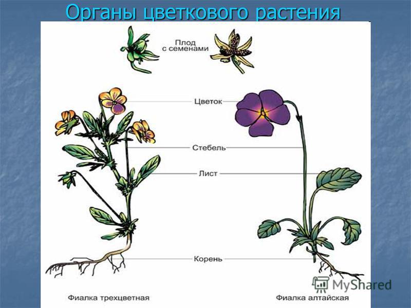Органы цветкового растения Корень укрепляет растение в почве, поглощает из почвы воду и минеральные соли. Корень укрепляет растение в почве, поглощает из почвы воду и минеральные соли. Стебель поднимается над землёй, вынося листья растения к свету. П