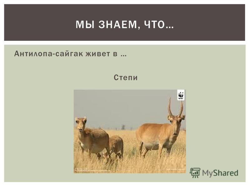 Антилопа-сайгак живет в … Степи МЫ ЗНАЕМ, ЧТО…