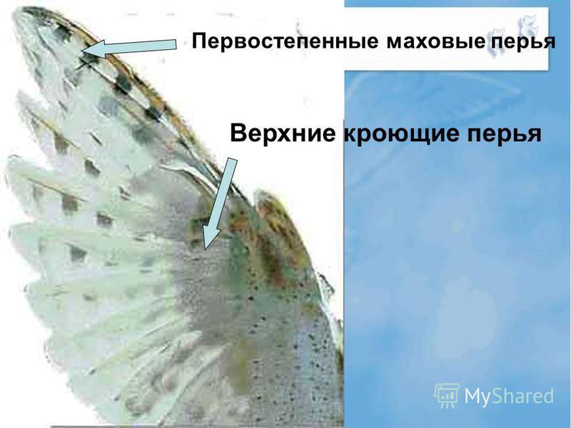 Первостепенные маховые перья Верхние кроющие перья