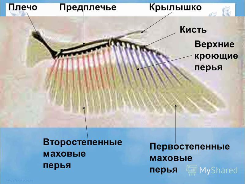 Первостепенные маховые перья Второстепенные маховые перья Крылышко Кисть Предплечье Плечо Верхние кроющие перья