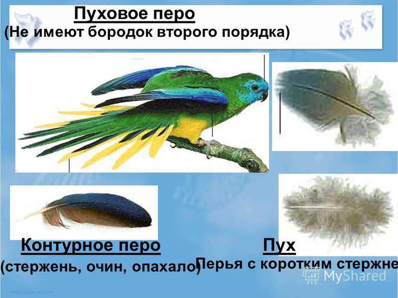 Пуховое перо Контурное перо Пух (Не имеют бородок второго порядка) Перья с коротким стержнем (стержень, очин, опахало)