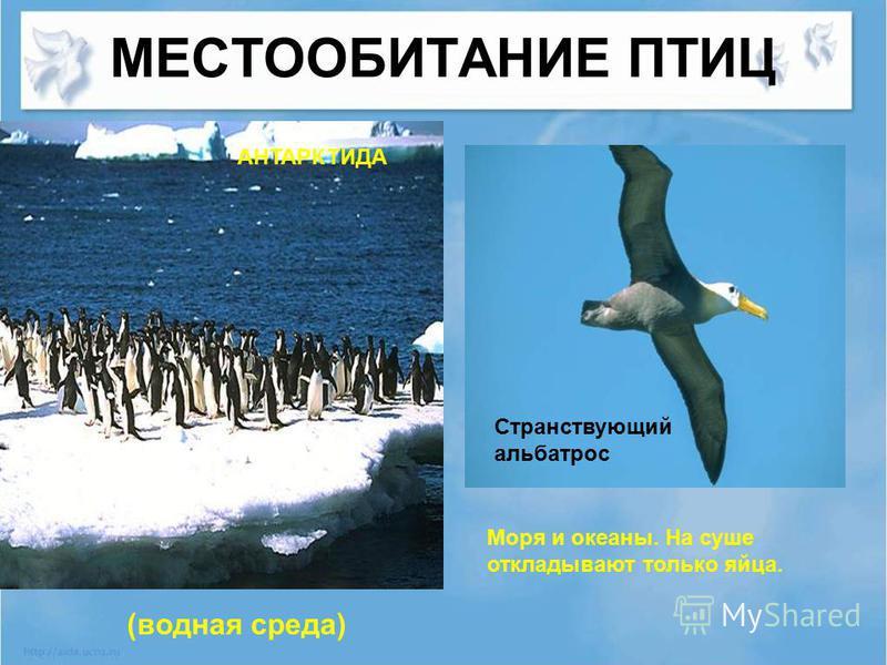 МЕСТООБИТАНИЕ ПТИЦ Моря и океаны. На суше откладывают только яйца. Странствующий альбатрос АНТАРКТИДА (водная среда)