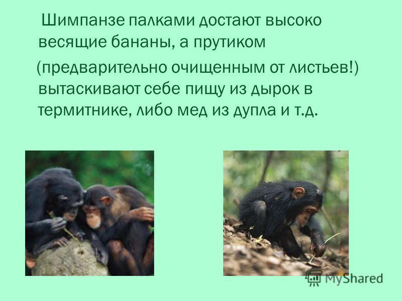 Шимпанзе палками достают высоко весящие бананы, а прутиком (предварительно очищенным от листьев!) вытаскивают себе пищу из дырок в термитнике, либо мед из дупла и т.д.