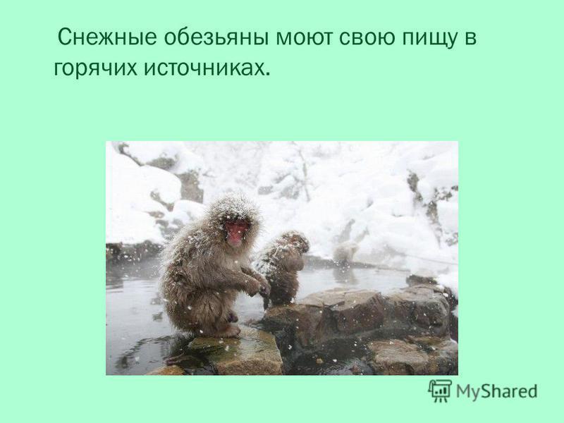 Снежные обезьяны моют свою пищу в горячих источниках.