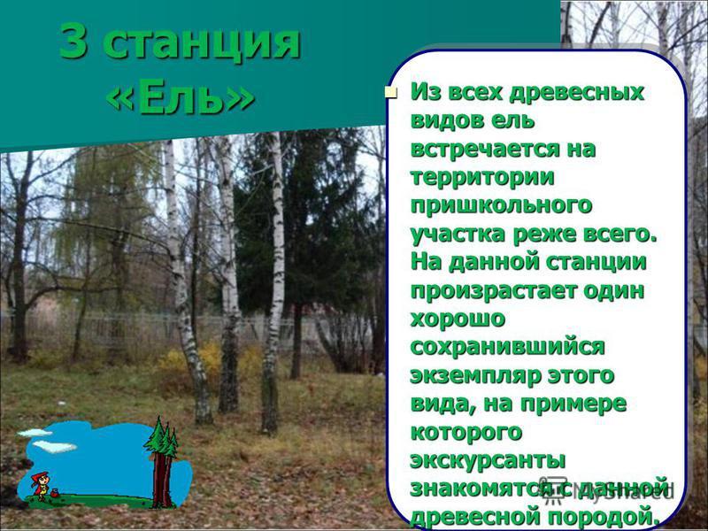 3 станция «Ель» Из всех древесных видов ель встречается на территории пришкольного участка реже всего. На данной станции произрастает один хорошо сохранившийся экземпляр этого вида, на примере которого экскурсанты знакомятся с данной древесной породо