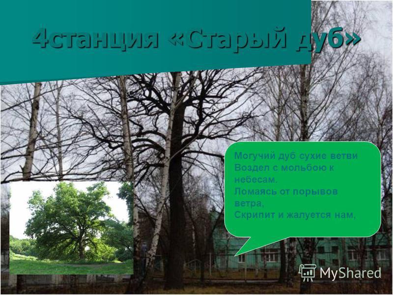 4 станция «Старый дуб» Могучий дуб сухие ветви Воздел с мольбою к небесам. Ломаясь от порывов ветра, Скрипит и жалуется нам,