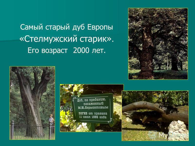 Самый старый дуб Европы «Стелмужский старик». Его возраст 2000 лет.