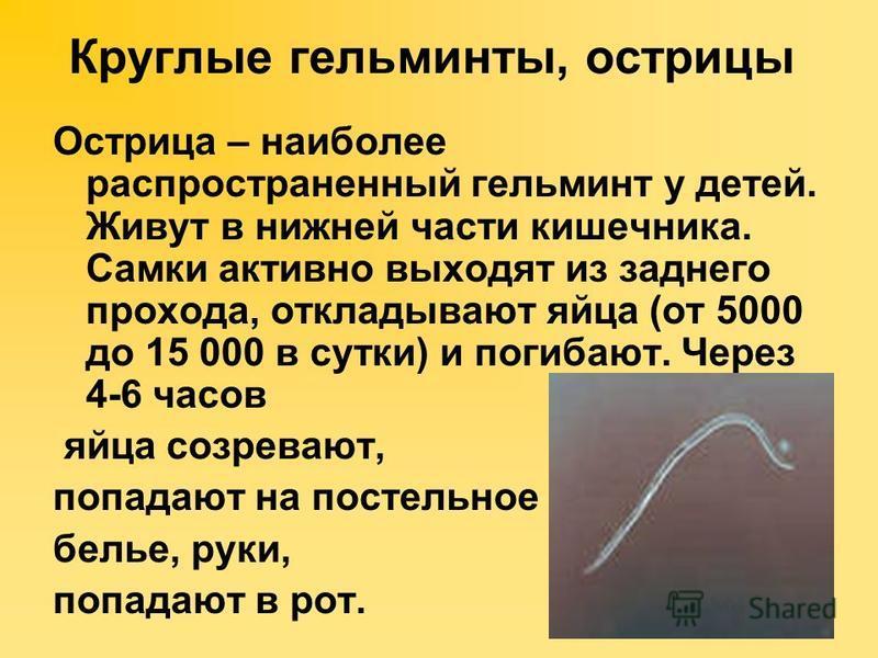 Круглые гельминты, острицы Острица – наиболее распространенный гельминт у детей. Живут в нижней части кишечника. Самки активно выходят из заднего прохода, откладывают яйца (от 5000 до 15 000 в сутки) и погибают. Через 4-6 часов яйца созревают, попада