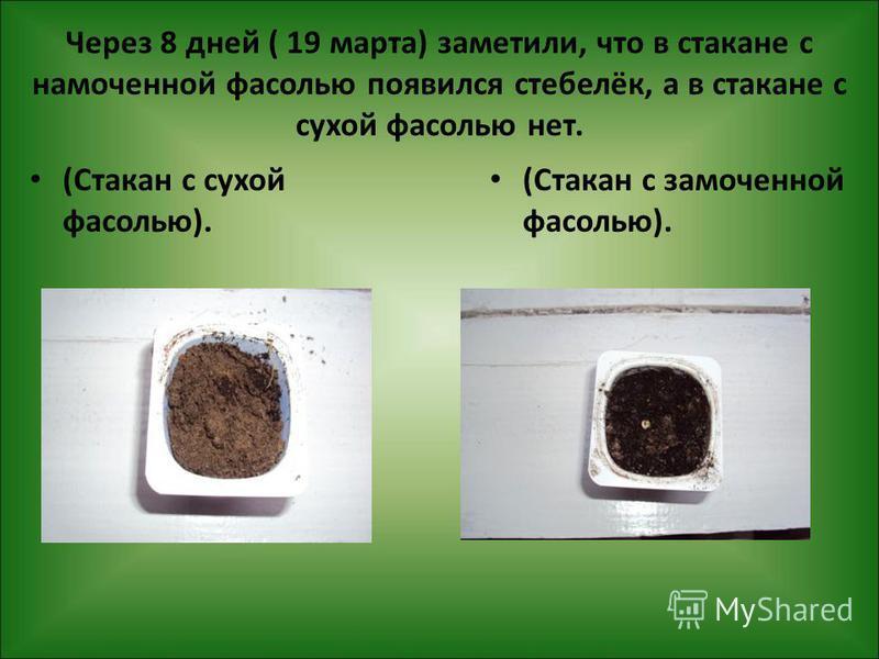 Через 8 дней ( 19 марта) заметили, что в стакане с намоченной фасолью появился стебелёк, а в стакане с сухой фасолью нет. (Стакан с сухой фасолью). (Стакан с замоченной фасолью).