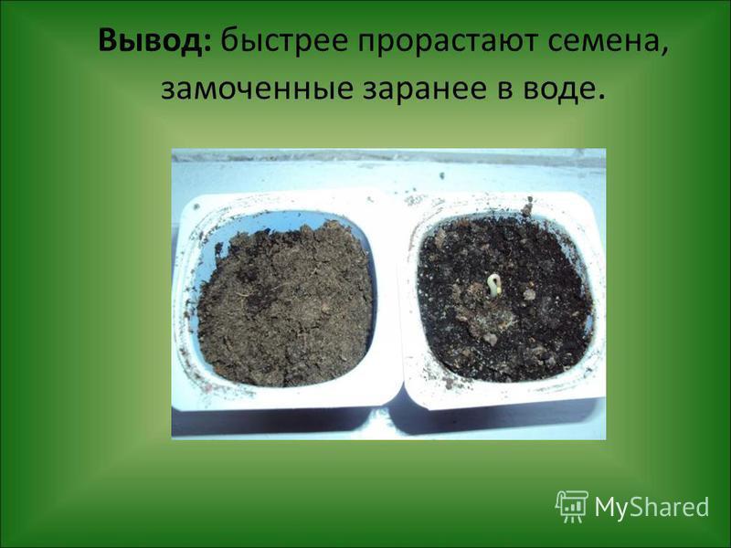 Вывод: быстрее прорастают семена, замоченные заранее в воде.