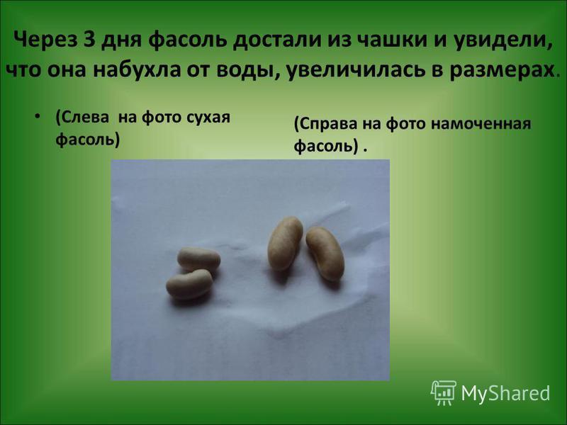 Через 3 дня фасоль достали из чашки и увидели, что она набухла от воды, увеличилась в размерах. (Справа на фото намоченная фасоль). (Слева на фото сухая фасоль)