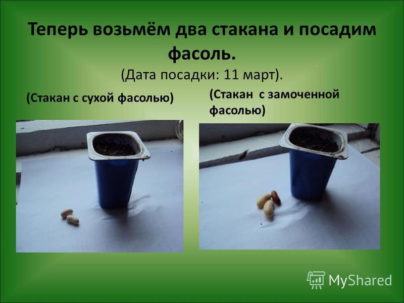 Теперь возьмём два стакана и посадим фасоль. (Дата посадки: 11 март). (Стакан с сухой фасолью) (Стакан с замоченной фасолью)