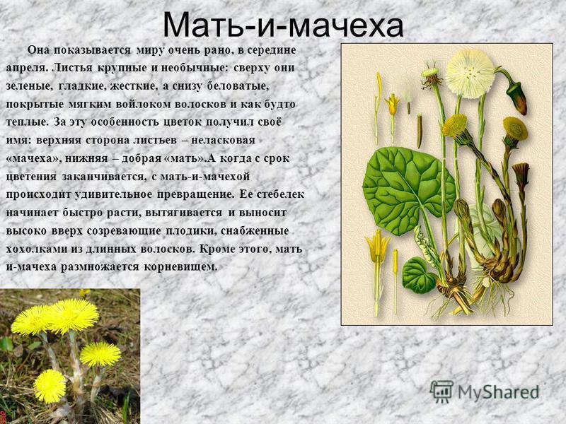 Мать-и-мачеха Она показывается миру очень рано, в середине апреля. Листья крупные и необычные: сверху они зеленые, гладкие, жесткие, а снизу беловатые, покрытые мягким войлоком волосков и как будто теплые. За эту особенность цветок получил своё имя: