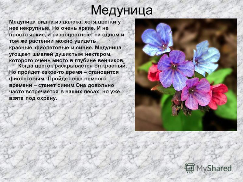 Медуница Медуница видна из далека, хотя цветки у нее некрупные. Но очень яркие. И не просто яркие, а разноцветные: на одном и том же растении можно увидеть красные, фиолетовые и синие. Медуница угощает шмелей душистым нектаром, которого очень много в