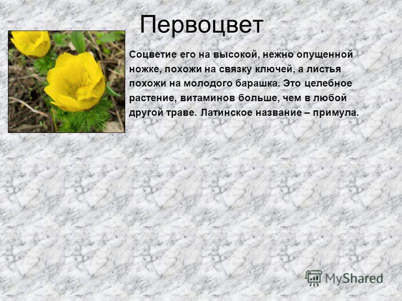 Первоцвет Соцветие его на высокой, нежно опущенной ножке, похожи на связку ключей, а листья похожи на молодого барашка. Это целебное растение, витаминов больше, чем в любой другой траве. Латинское название – примула.