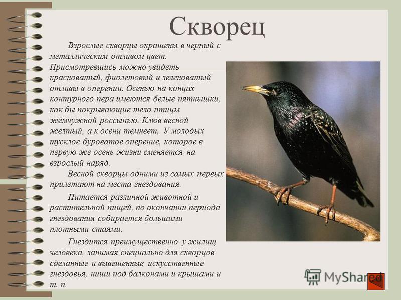 Скворец Взрослые скворцы окрашены в черный с металлическим отливом цвет. Присмотревшись можно увидеть красноватый, фиолетовый и зеленоватый отливы в оперении. Осенью на концах контурного пера имеются белые пятнышки, как бы покрывающие тело птицы жемч