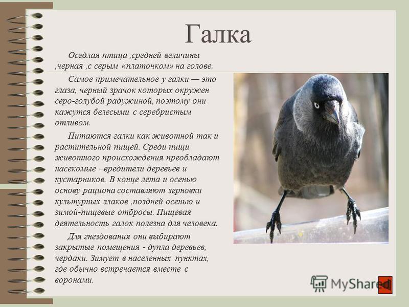 Галка Оседлая птица,средней величины,черная,с серым «платочком» на голове. Самое примечательное у галки это глаза, черный зрачок которых окружен серо-голубой радужиной, поэтому они кажутся белесыми с серебристым отливом. Питаются галки как животной т