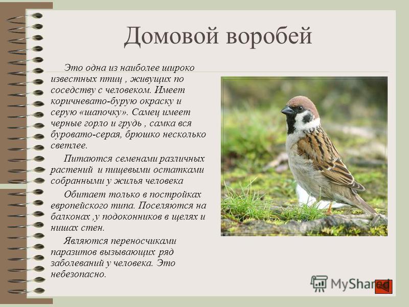 Домовой воробей Это одна из наиболее широко известных птиц, живущих по соседству с человеком. Имеет коричневато-бурую окраску и серую «шапочку». Самец имеет черные горло и грудь, самка вся буровато-серая, брюшко несколько светлее. Питаются семенами р