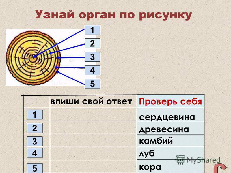 Узнай орган по рисунку 1 2 3 4 5 впиши свой ответ 5 4 3 2 1 сердцевина древесина камбий луб кора Проверь себя 1 2 5 4 3