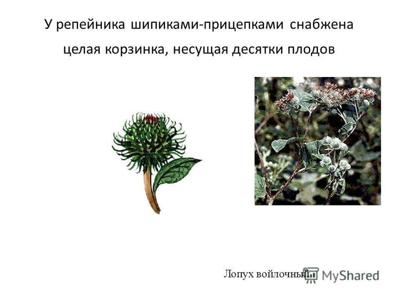У репейника шипиками-прицепками снабжена целая корзинка, несущая десятки плодов Лопух войлочный