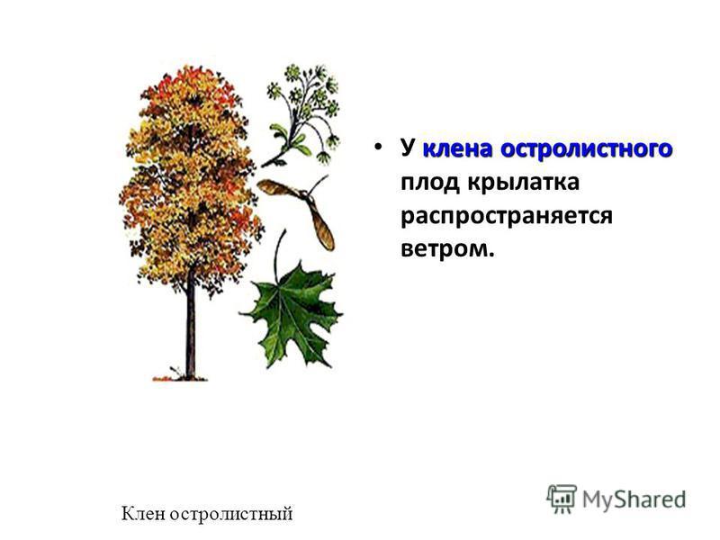 клена остролистного У клена остролистного плод крылатка распространяется ветром. Клен остролистный