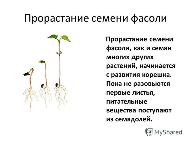 Прорастание семени фасоли Прорастание семени фасоли, как и семян многих других растений, начинается с развития корешка. Пока не разовьются первые листья, питательные вещества поступают из семядолей.