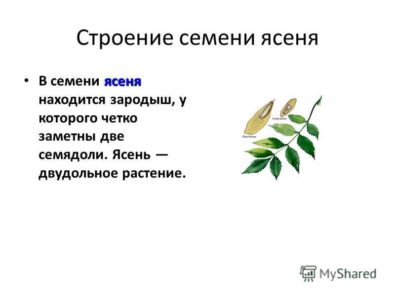 Строение семени ясеня ясеня В семени ясеня находится зародыш, у которого четко заметны две семядоли. Ясень двудольное растение.