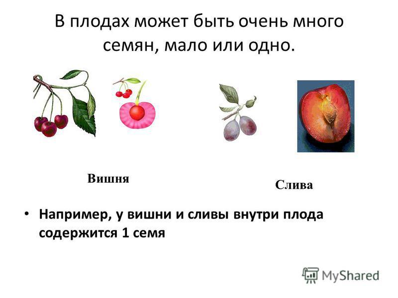 В плодах может быть очень много семян, мало или одно. Например, у вишни и сливы внутри плода содержится 1 семя Вишня Слива