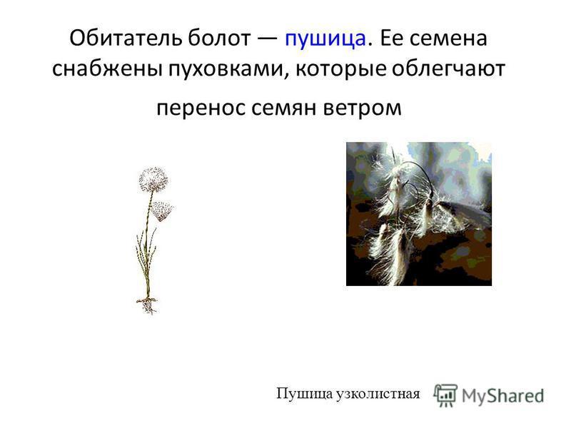 Обитатель болот пушица. Ее семена снабжены пуховками, которые облегчают перенос семян ветром Пушица узколистная