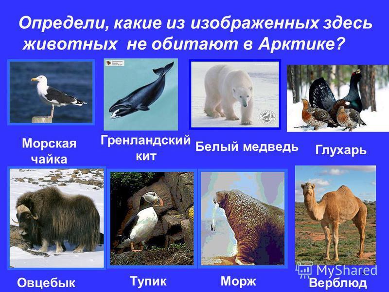 4 Определи, какие из изображенных здесь животных не обитают в Арктике? Морская чайка Гренландский кит Белый медведь Глухарь Овцебык Тупик Морж Верблюд