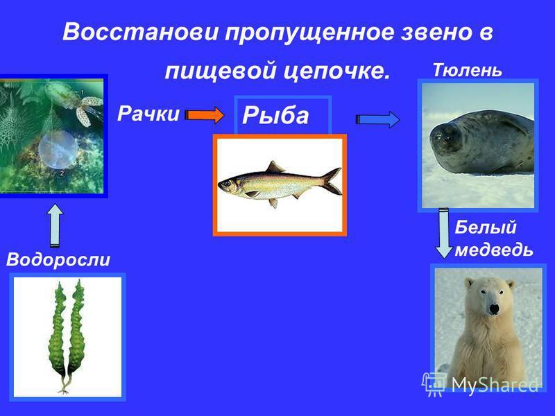 6 Восстанови пропущенное звено в пищевой цепочке. Водоросли Рачки ….. Тюлень Белый медведь Рыба
