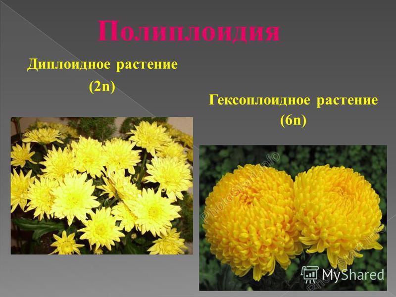 Гексоплоидное растение (6n) Диплоидное растение (2n)