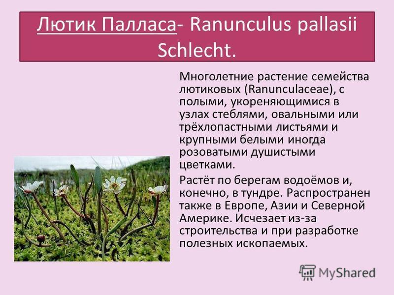 Лютик Палласа- Ranunculus pallasii Schlecht. Многолетние растение семейства лютиковых (Ranunculaceae), с полыми, укореняющимися в узлах стеблями, овальными или трёхлопастными листьями и крупными белыми иногда розоватыми душистыми цветками. Растёт по