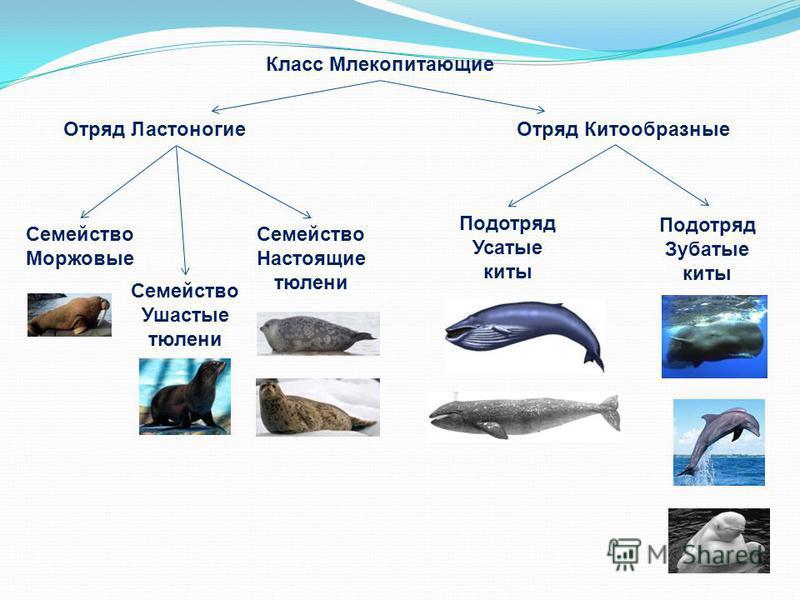 Класс Млекопитающие Отряд Китообразные Отряд Ластоногие Семейство Настоящие тюлени Семейство Ушастые тюлени Семейство Моржовые Подотряд Усатые киты Подотряд Зубатые киты