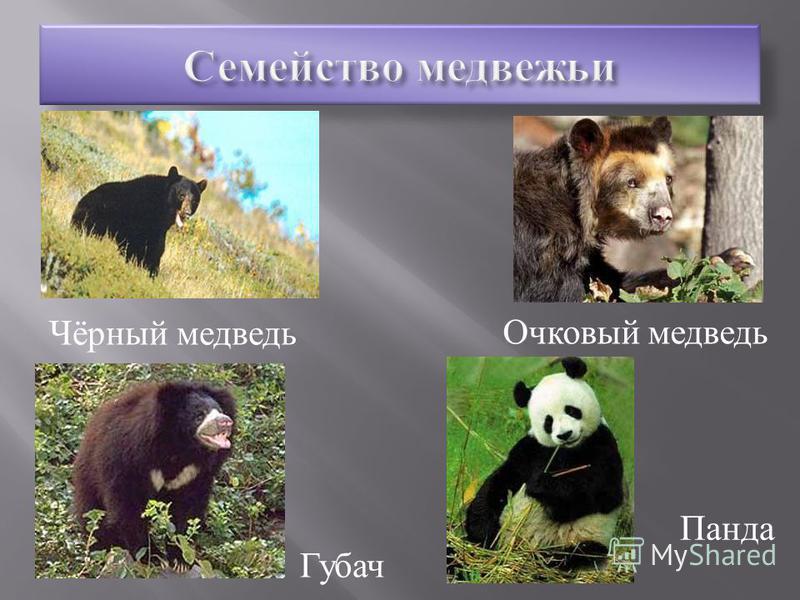 Бируанг Гималайский медведь Бурый медведь Белый медведь